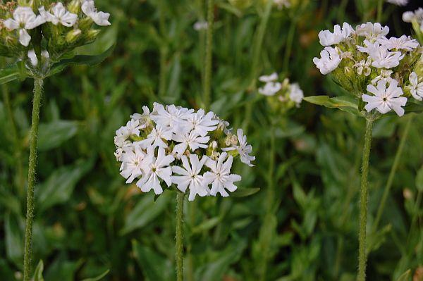 Lychnis chacedonica 'Alba'