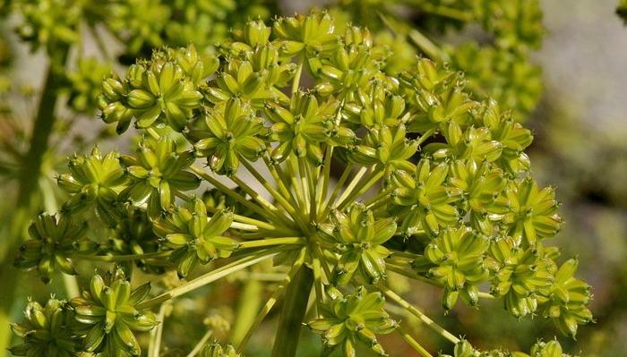 Schermbloemen onmisbaar voor tuinen in natuurstijl