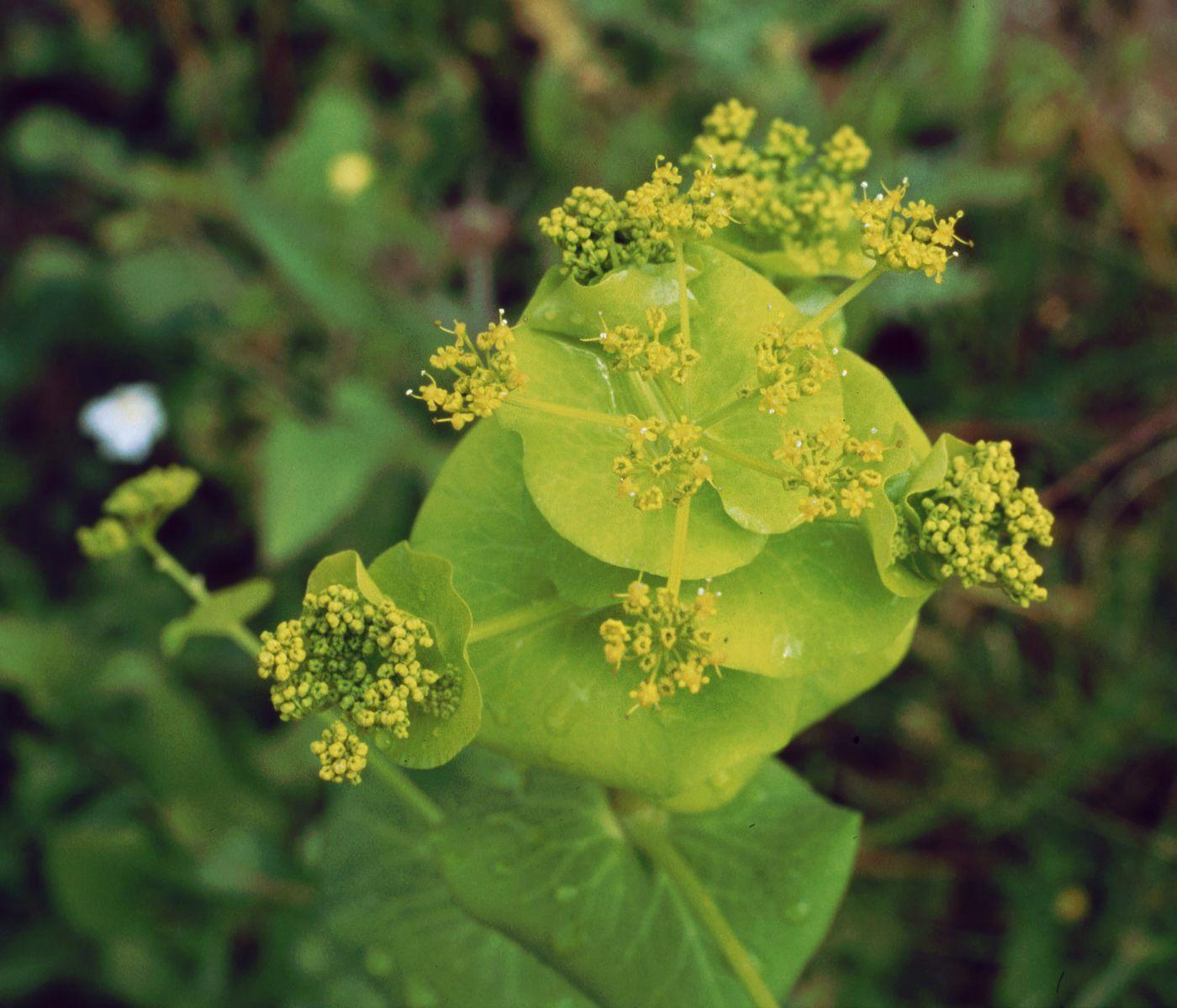 Smyrnium perfoliatum