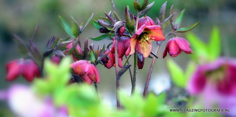 Helleborus hybride