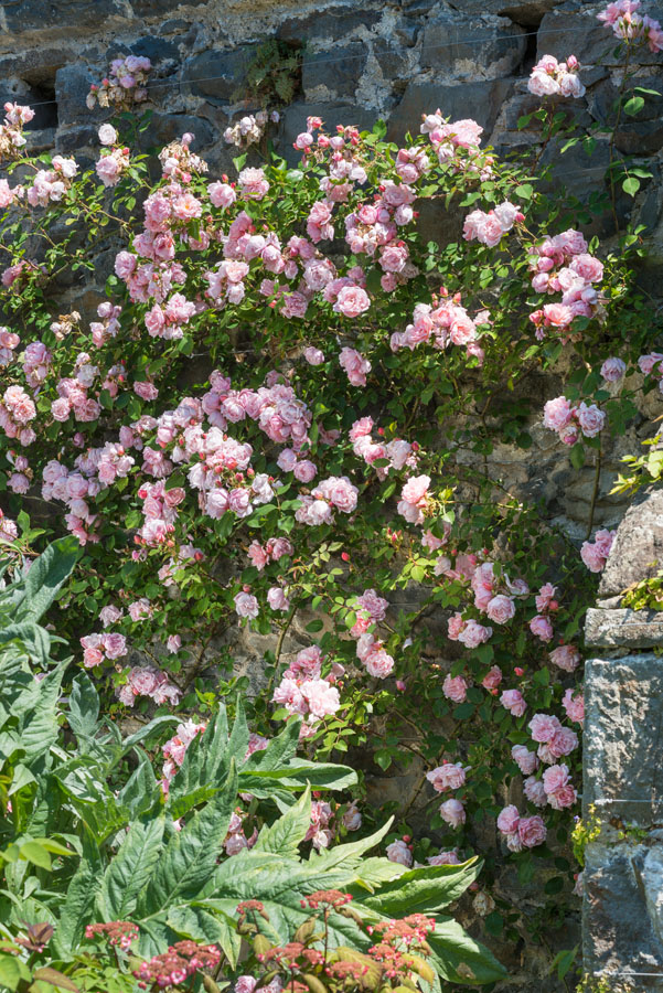 Rosa 'Debutante'