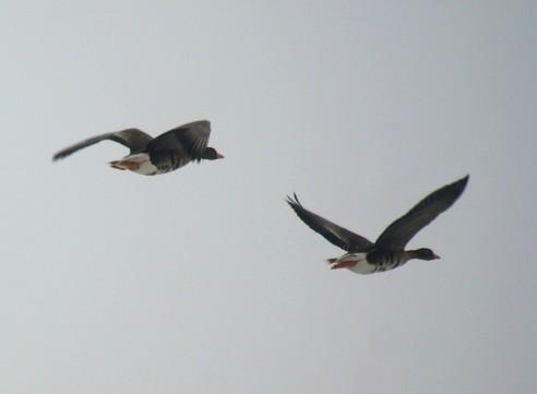 Overvliegende ganzen