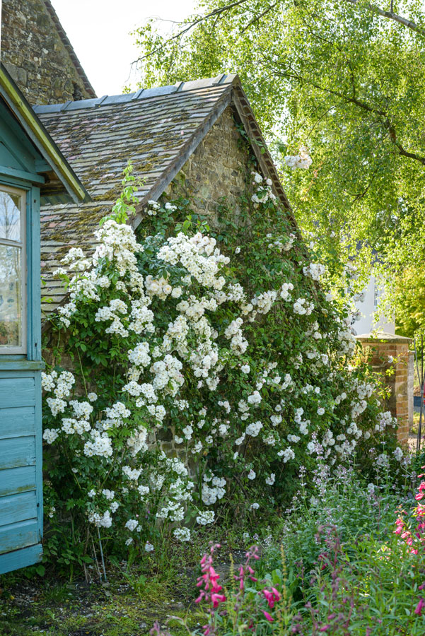 Rosa' Rambling Rector' and 'Adelaide d'Orléans'