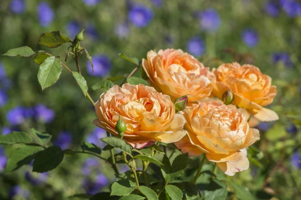 bodnant roses 4