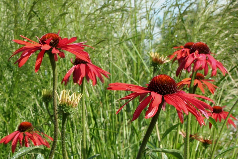 Echinacea Hot Summer groep 1107.3mv