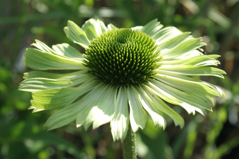 Echinacea purpurea Green Jewel 0908.1mv