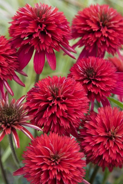 Echinacea `Summer Cherry' ®1