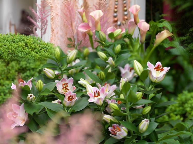 Lilium Souvenir