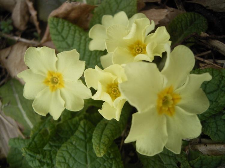 Primula-vulgaris-flowers