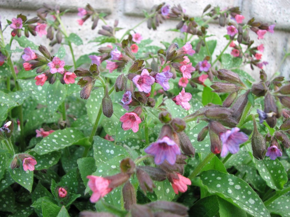 Pulmonaria_officinalis_kpjas_27042008