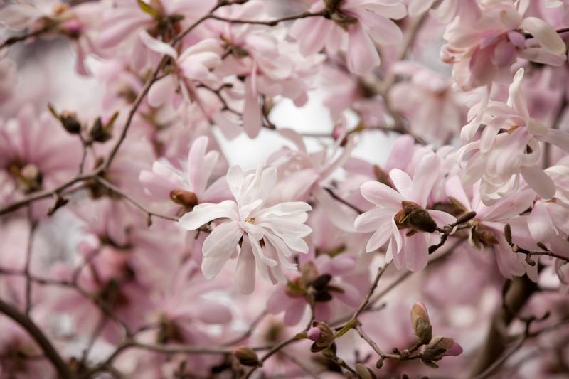 2nd-Magnoliastellata_Waterlily_06