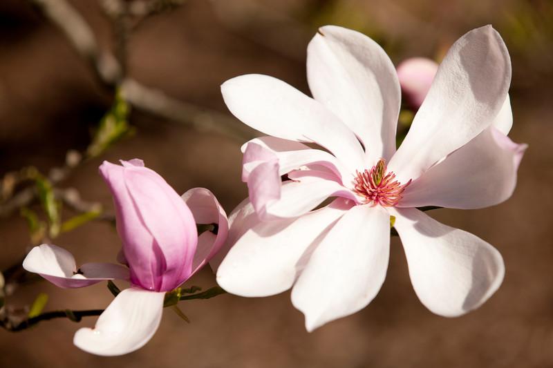 3rd-Magnoliacultivar03