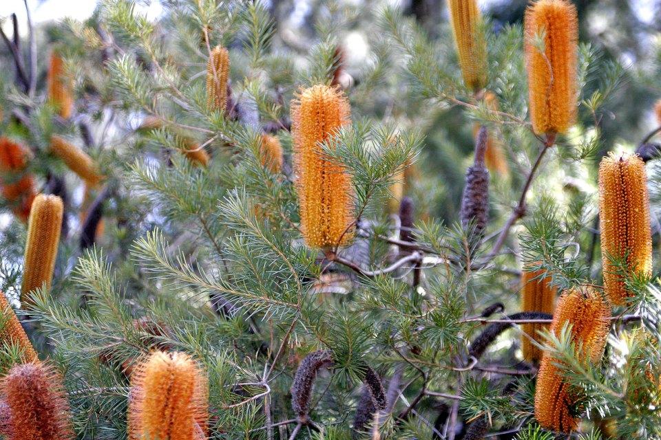 Banksia_bush