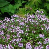 GO WILD! Top 10 Vaste planten voor bijen en vlinders