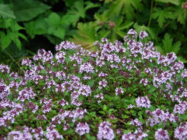 Thymus_serpyllum_flowering_02