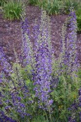Baptisia 'Midnight Prairieblues'