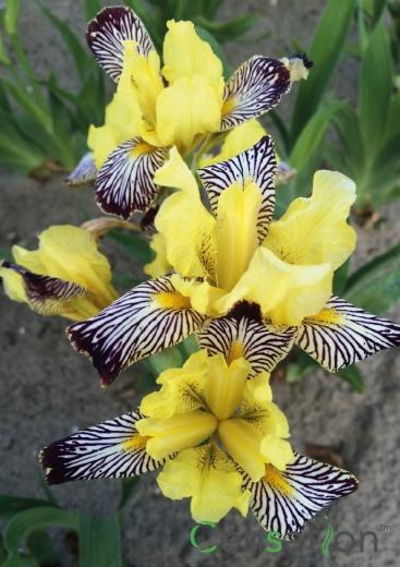 Iris'Censation™ Golden Zebra'