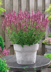 Salvia 'Pink Friesland'