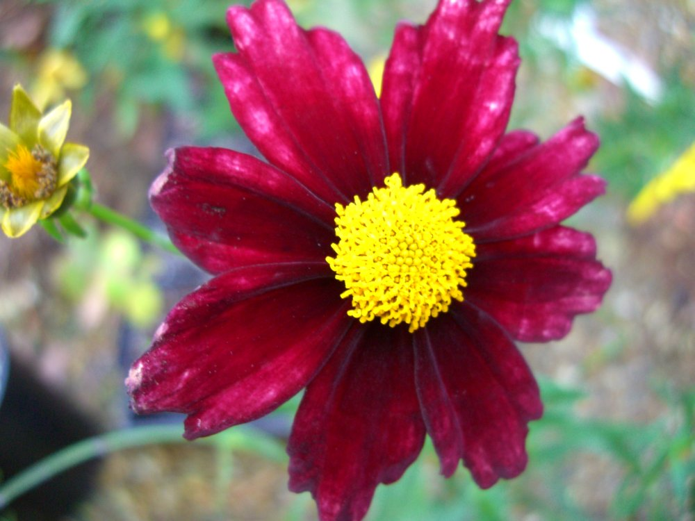 Coreopsis'Redshift'