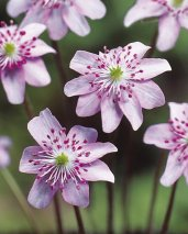 Hepatica'Pink Forest Hybrids'