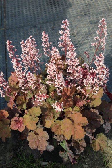 Heuchera'Pink Pearls'