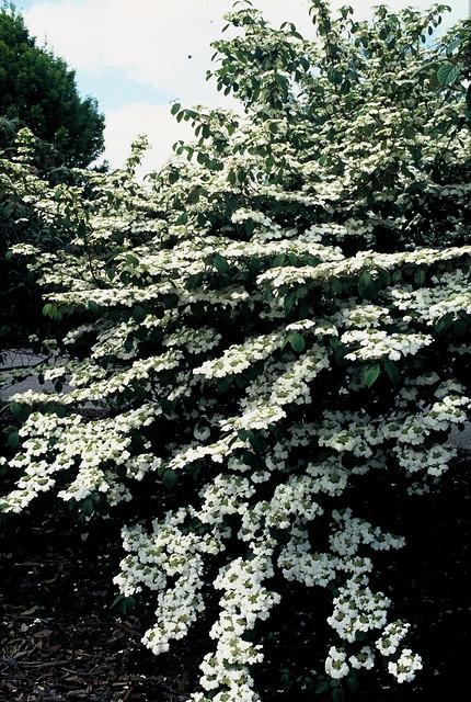Viburnum plicatum 'Rowallane'