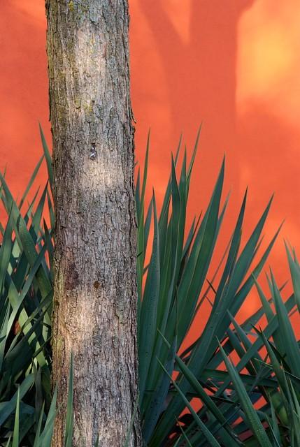 Catalpa x erubescens Purpurea