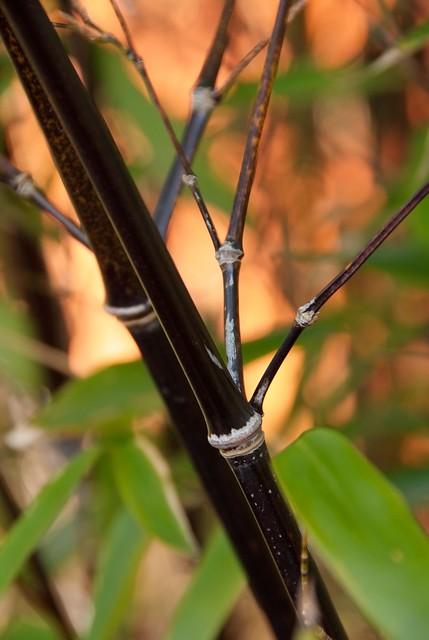 Phyllostachys nigra (bamboe)