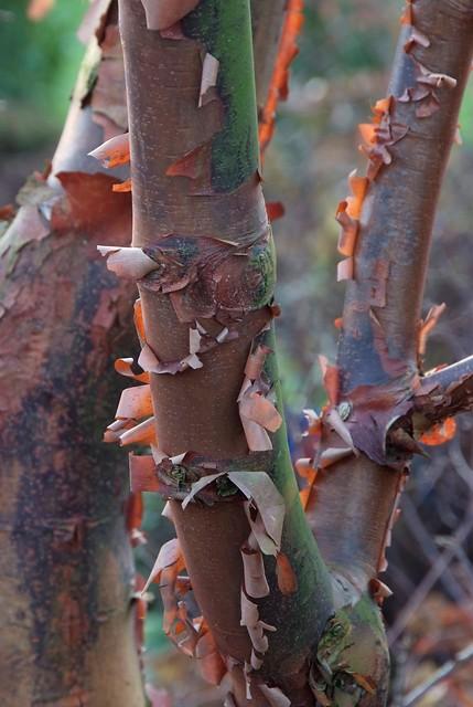Acer griseum