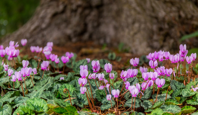 Cyclamen Carpet. Day 152 365 Until a few years ago I thoug… Flickr