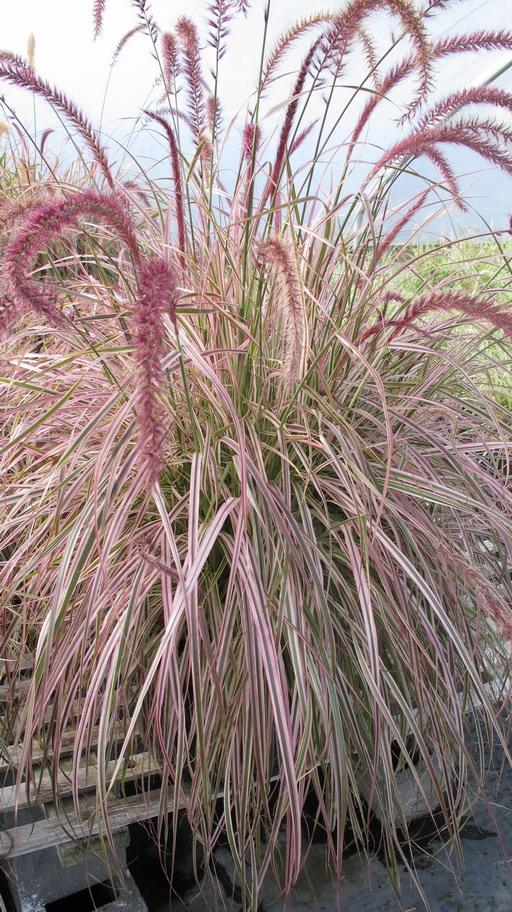 Pennisetum `Cherry Sparkler' resize1