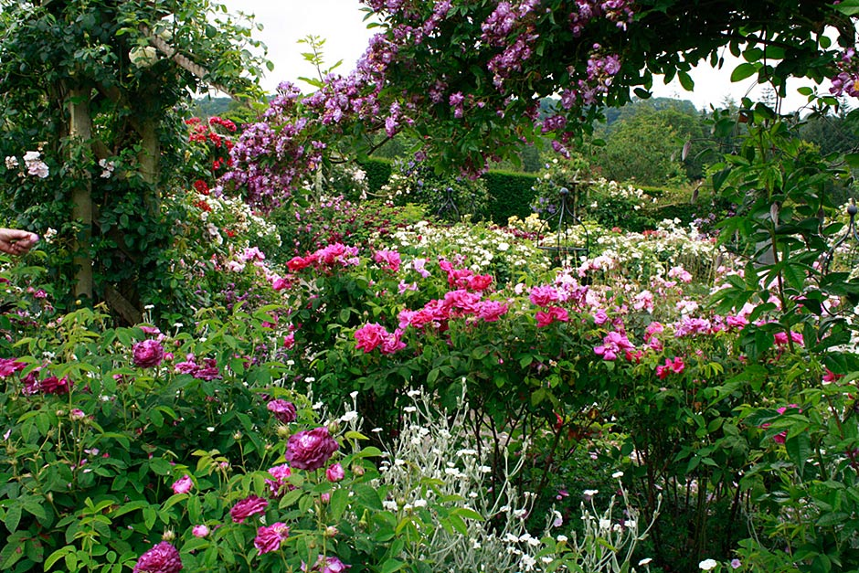 rosemoor 6