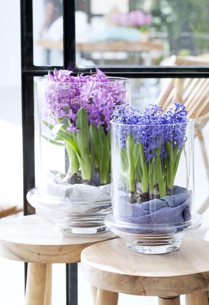 Tuinplant februari: Voorjaarsbollen op pot. Hyacinth, narcis, muscari