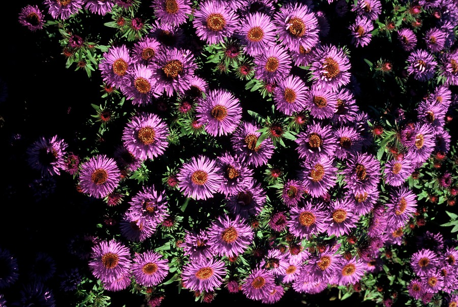 Aster novae angliae Purple Dome