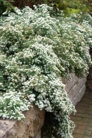 Aster ericoides 'Snowflurry'