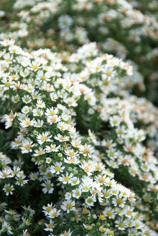 Aster ericoides Snowflurry