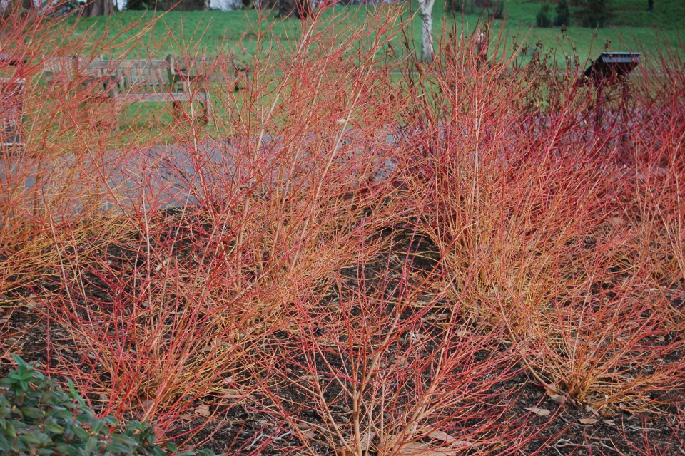 Tersteeg Jan tergouwlaantje Cornus-sanguinea'midwinter-fire'