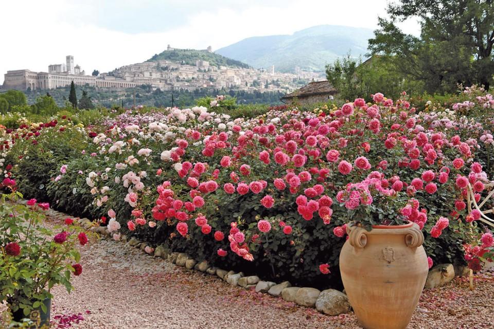 Quandofiorianno Le Rose Assisi Italië