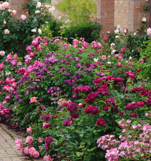 Rosa 'Darcey Bussell', Hippolyte' en 'Christopher Marlow'