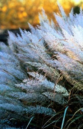 calamagrostis brachytricha.
