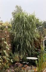 Miscanthus giganteus