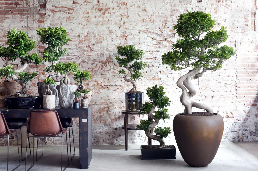 Binnengroen: Ficus Ginseng de hippe Bonsai look-a-like