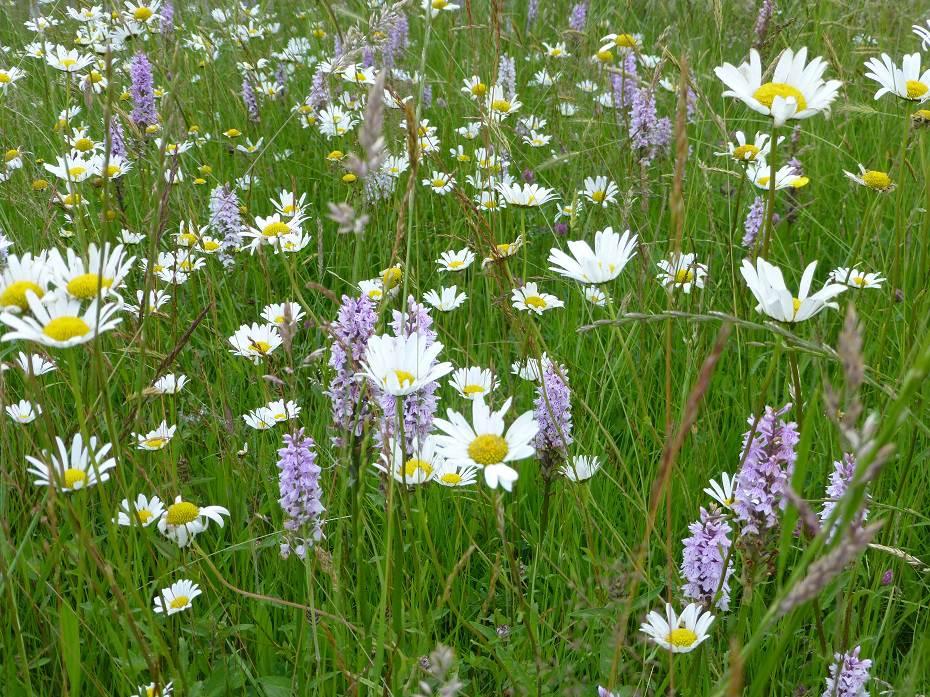 GO WILD! – een bloemrijk grasveld in plaats van een keurig gazon