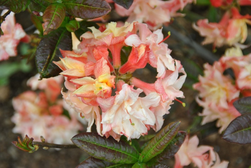rhododendron_cannons_double_1