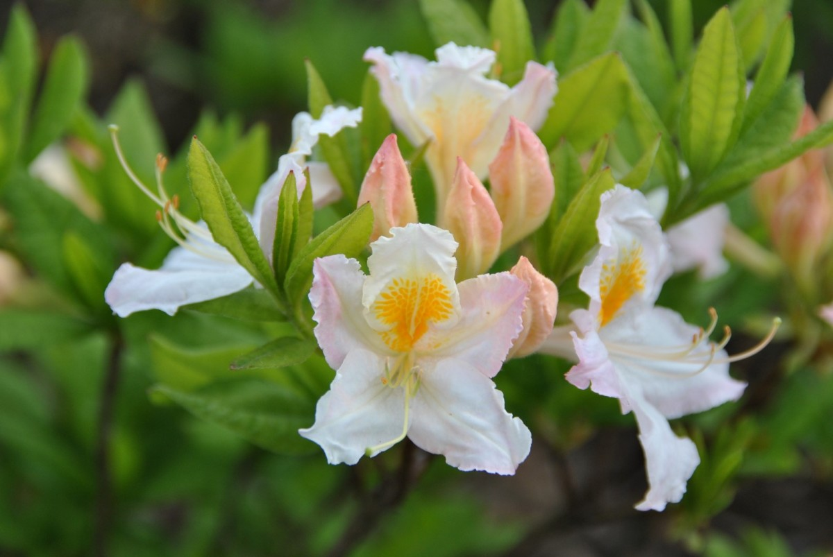 rhododendron_move