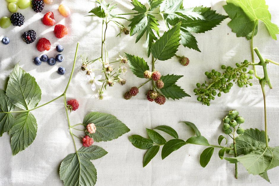 Tuinplanten maand juni 2018: klimfruit