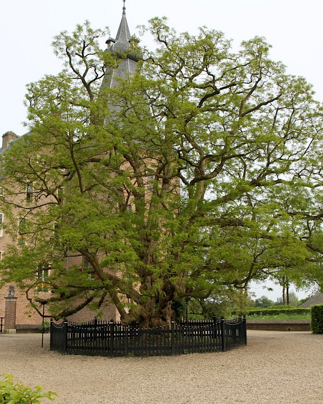 medium_robinia_pseudoacacia