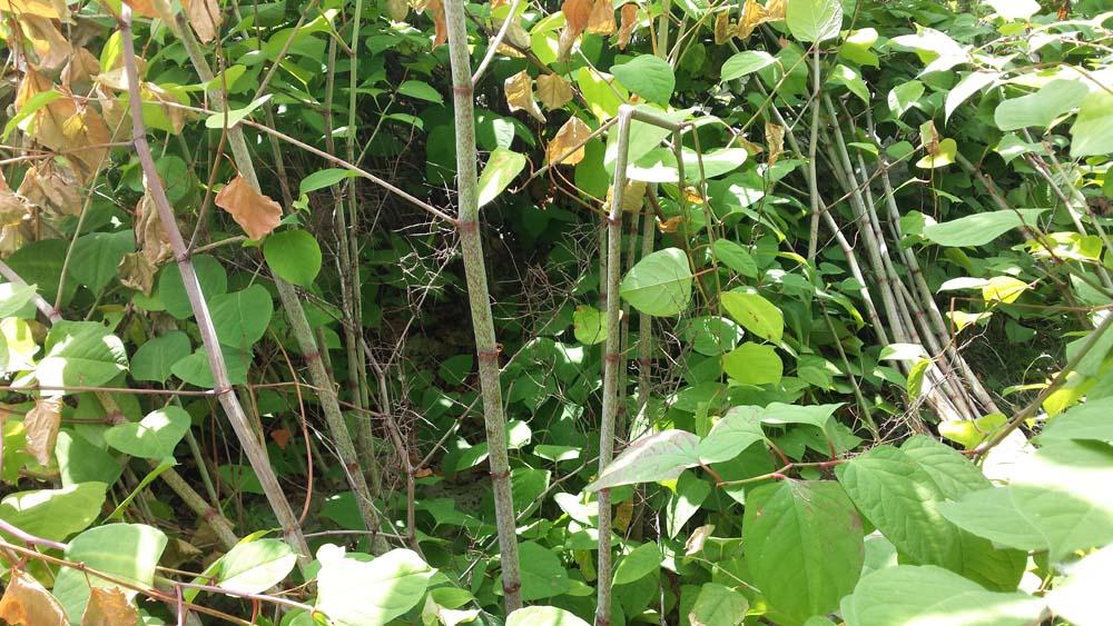 Fallopia japonica: Een tuinplant als staatsvijand