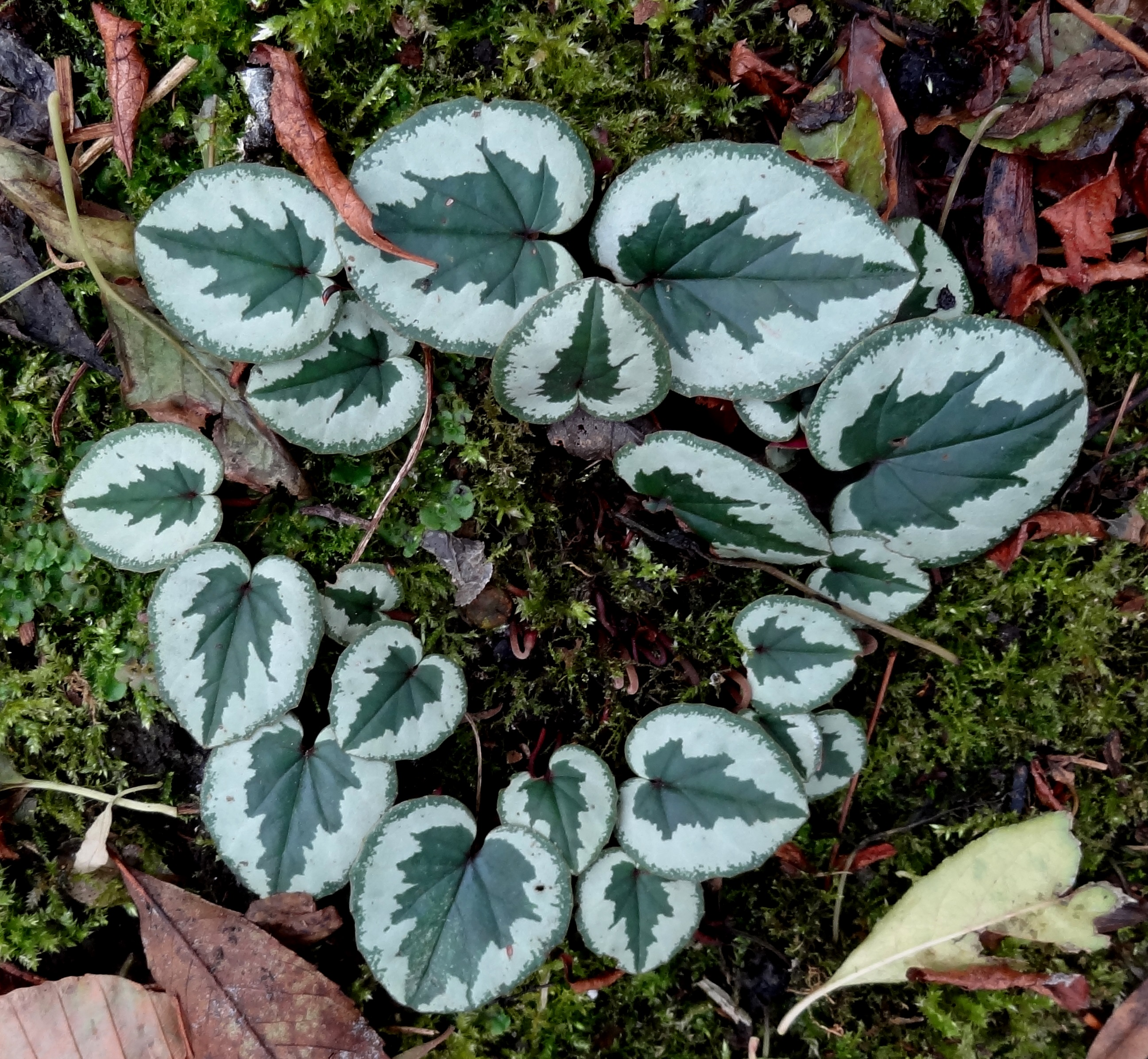 Wies Voesten's Passie voor planten – Cyclamen