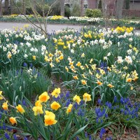 Wies Voesten's Passie voor planten - Voorjaarsbollen